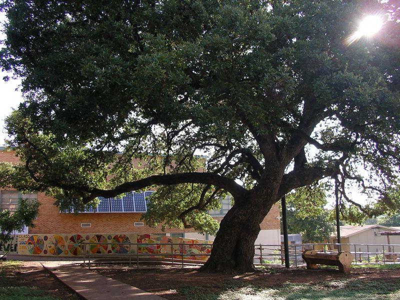 Bryker Woods Elementary Heritage Live Oak tree